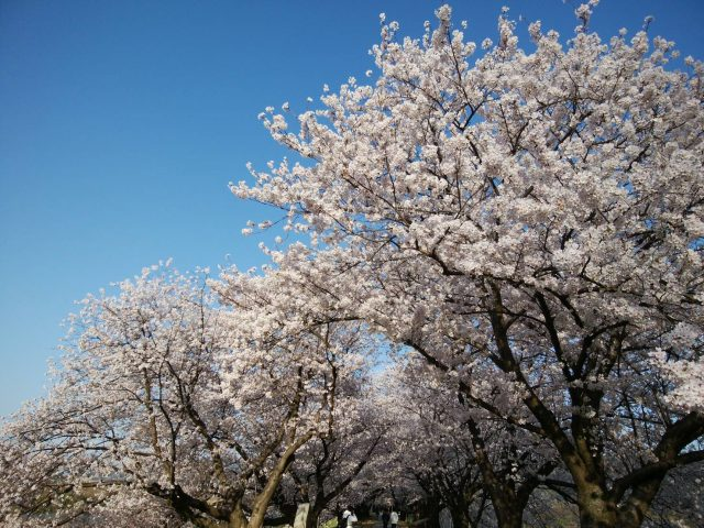 八幡笑う~背割堤の桜~